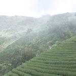 高山烏龍茶の紹介と特徴について|おすすめの高山烏龍茶の選び方|台湾茶・烏龍茶