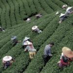 烏龍茶について|烏龍茶の魅力とおすすめの烏龍茶の選び方|中国烏龍茶と台湾烏龍茶